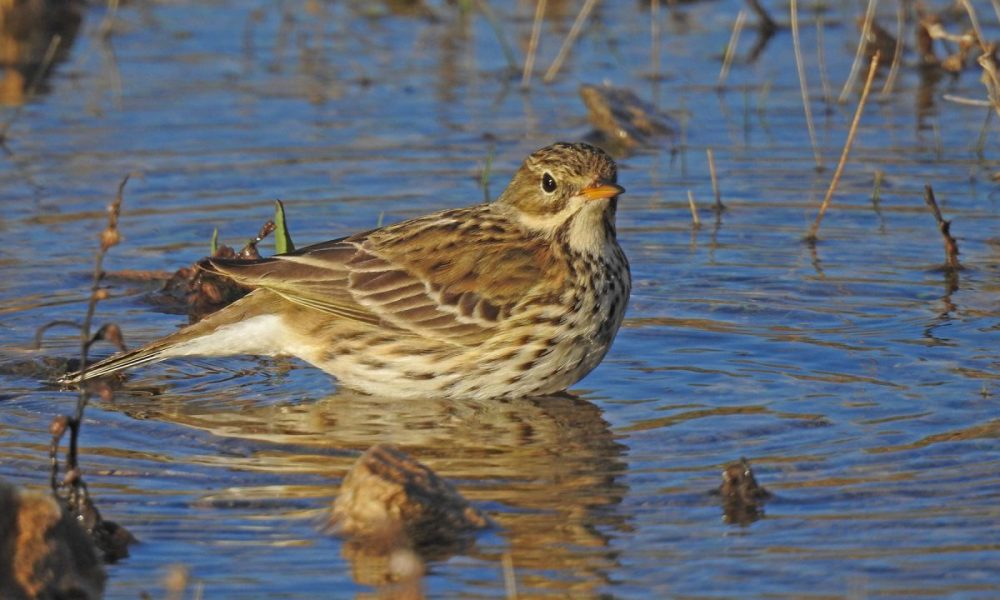 Meadow Pipit: Andalucia Bird Society's 'Bird of the Month'