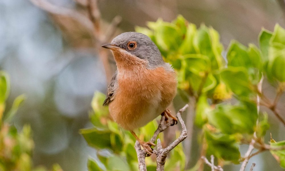 Subalpine Warbler: Andalucia Bird Society's 'Bird of the Month'