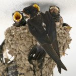 Barn Swallow: Andalucia Bird Society's 'Bird of the Month'
