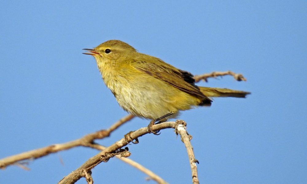 Chiffchaff: Andalucia Bird Society's 'Bird of the Month'
