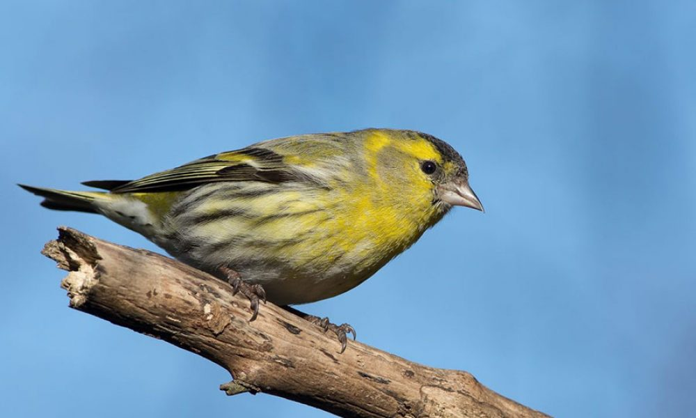 Eurasian Siskin: Andalucia Bird Society's 'Bird of the Month'