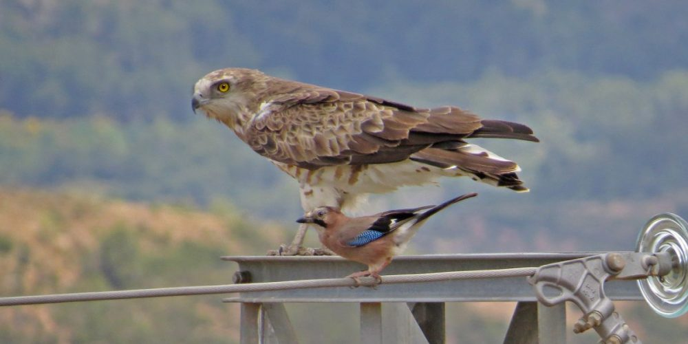 Short-toed Snake Eagle: Andalucia Bird Society's 'Bird of the Month'