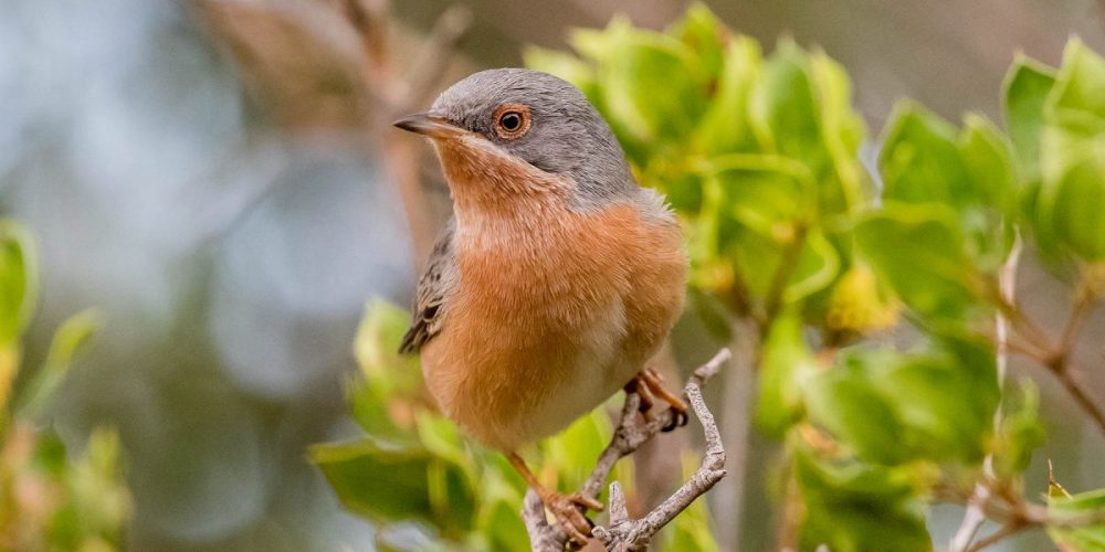 Subalpine Warbler: Andalucia Bird Society's 'Bird of the Month'