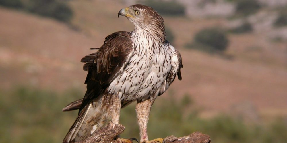 Bonelli's Eagle: Andalucia Bird Society's 'Bird of the Month'