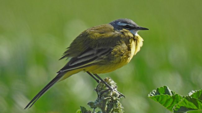 Yellow Wagtail: Andalucia Bird Society's 'Bird of the Month'