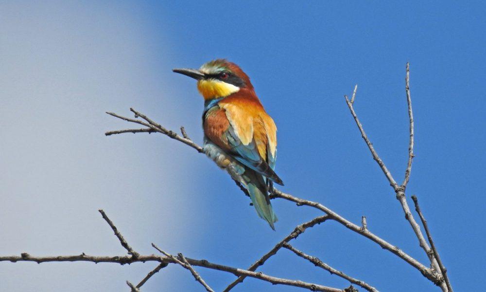 European Bee Eater: Andalucia Bird Society's 'Bird of the Month'