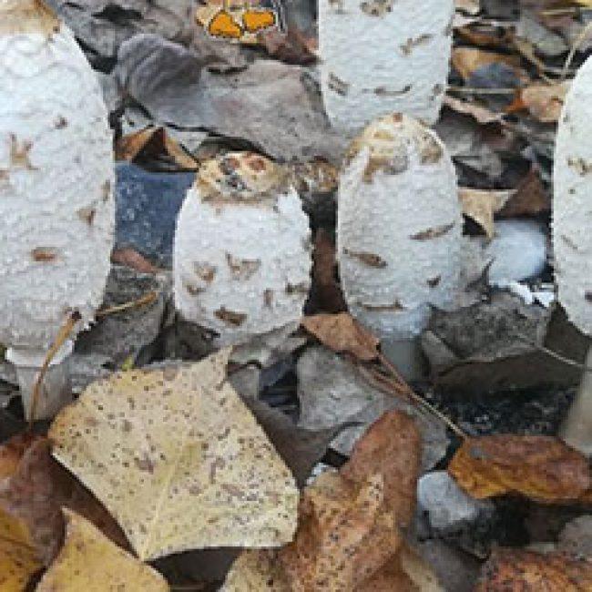 Mushroom Walks, Cortes de la Frontera